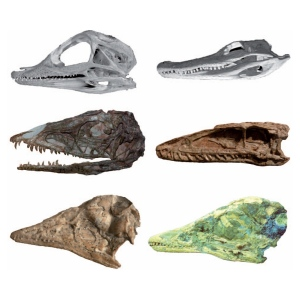 Skulls of three types of archosaur—alligator, primitive dinosaur, and early bird. The left column represents juveniles and the right column represents adults. (Credit: Image courtesy of The University of Texas at Austin)